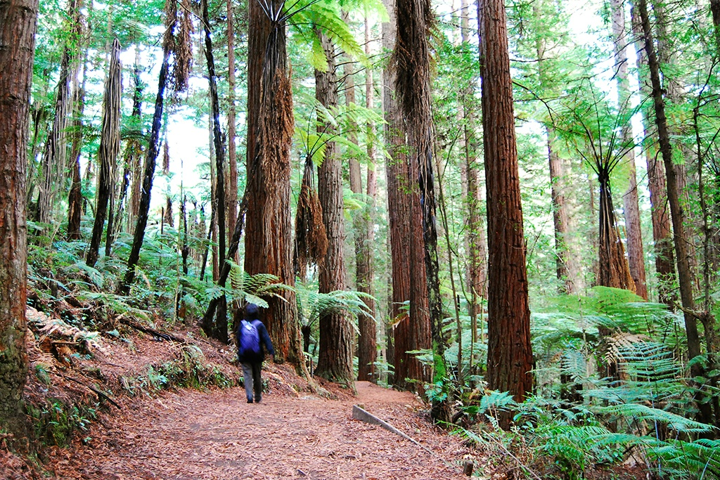 Redwoods-Treewalk-walking-in-the-trees