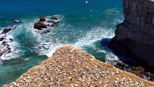 New-Zealand-Must-dos-Muriwai's Ganet Colony
