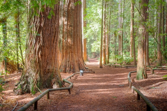 redwood_forest_rotorua-walks